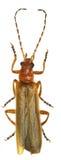 Militair Beetle op witte Achtergrond Stock Afbeeldingen