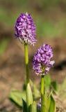 Militaire orchidee royalty-vrije stock foto