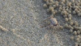 Militairkrab of wichmani DE Man van Mictyris Dotilla De kleine krabben eten humus en kleine die dieren bij het strand als voedsel stock videobeelden