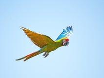 militaris ara macaw στρατιωτικά Στοκ φωτογραφίες με δικαίωμα ελεύθερης χρήσης