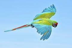 militaris ara macaw στρατιωτικά Στοκ Φωτογραφίες