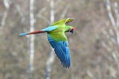 militaris ara macaw στρατιωτικά Στοκ Εικόνα