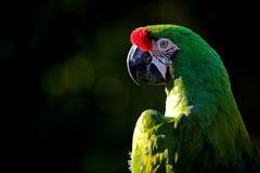 militaris ara macaw στρατιωτικά Στοκ εικόνα με δικαίωμα ελεύθερης χρήσης