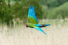 militaris ara macaw στρατιωτικά Στοκ εικόνες με δικαίωμα ελεύθερης χρήσης