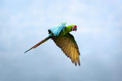 militaris ara macaw στρατιωτικά Στοκ φωτογραφία με δικαίωμα ελεύθερης χρήσης