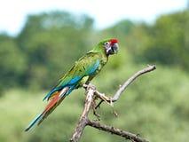 militaris macaw ara воинские стоковые фото