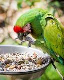 militaris mexicana ara macaw μεξικάνικα στρατιω&t Στοκ Εικόνα