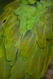 Militaris militares verdes del Ara del macaw Fotos de archivo