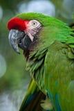 Militaris militares verdes del Ara del macaw Imágenes de archivo libres de regalías