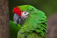Militaris militares verdes del Ara del macaw Foto de archivo libre de regalías
