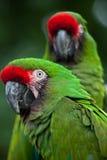Militaris militares verdes del Ara del macaw Imagen de archivo