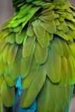 Militaris militares verdes del Ara del macaw Imagenes de archivo