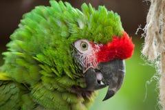 Militaris militares verdes del Ara del macaw Fotografía de archivo libre de regalías