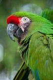 Militaris militares verdes del Ara del macaw Imagen de archivo libre de regalías