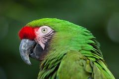 Militaris militares verdes del Ara del macaw Fotografía de archivo