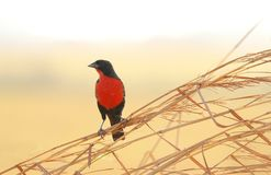 Militaris neri dal petto rosso dello Sturnella dell'uccello Fotografia Stock Libera da Diritti