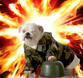Military dog. English bulldog dressed up in army camo with explosion in the background Royalty Free Stock Images