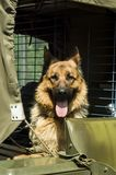 Military dog - German Shepherd royalty free stock photography