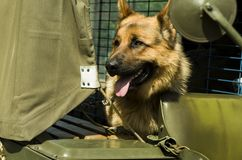 Military dog - German Shepherd stock photography