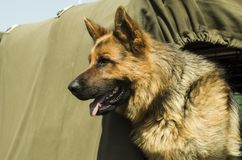 Military dog - German Shepherd stock images