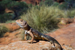Military dragon. Ctenophorus, also known as Comb-bearing Dragons, is a genus that contains the most diverse group of dragons in Australia. Many of these have Royalty Free Stock Photos