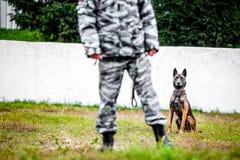 Military german shepherd stock image