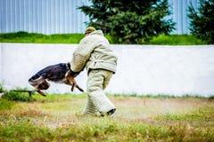 Military german shepherd training stock photo
