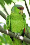 Military green parrot standing on a branch Stock Images