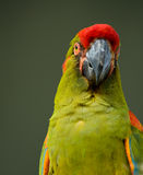 Military Macaw Stock Photos