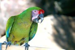 Military macaw 2 Royalty Free Stock Photos