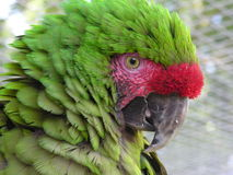 Military Macaw. Head shot of a Military Macaw Royalty Free Stock Photos