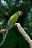 Military macaw. Photo of military macaw on a tree Royalty Free Stock Photo