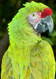 Military Macaw (Ara militaris) Stock Images