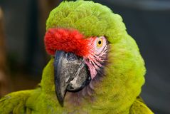 Military Macaw (Ara militaris) royalty free stock photography