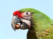 Military Macaw (Ara militaris) Stock Photography