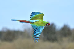Military Macaw (Ara militaris). Military Macaw in flight with blue skies in the background stock photography