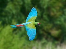 Military Macaw (Ara militaris). Military Macaw in flight with vegetation in the background royalty free stock images