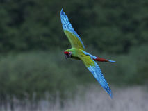Military macaw & x28;Ara militaris& x29;. Military macaw in flight with vegetation in the background stock images