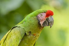 Military Macaw- Ara militaris. Large beautiful green parrot from South America forests, Argentina stock photos
