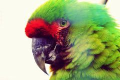 Military macaw Ara militaris mexicana as a portrait. The military macaw Ara militaris is a large parrot and a medium-sized macaw. Thank´s for your DOWNLOAD stock image