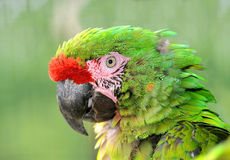 Military macaw Royalty Free Stock Photos