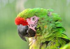 Military macaw Royalty Free Stock Photos