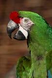 Military macaw (Ara militaris) Stock Photos