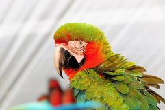 Military Macaw Bird Stock Photos