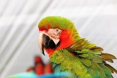 Military Macaw Bird Stock Photos