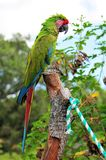 Military macaw bird Stock Images