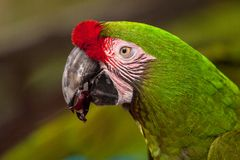 Military macaw bird Ara militaris royalty free stock photo
