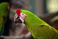 Military macaw bird Ara militaris royalty free stock image