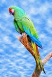 Military macaw on branch Royalty Free Stock Photography