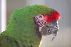 Military macaw closeup Royalty Free Stock Photo